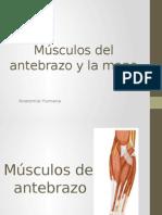 Músculos Del Antebrazo y La Mano