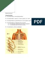 Anatomi Plexus Cervicalis