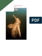 Delfin Rosado
