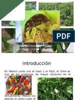 Picudo Del Chile
