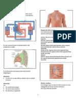 Corazon as Es or i as Anatomia