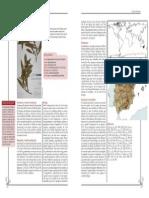 Acacia Melanoxylon