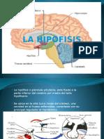 La Hipofisis