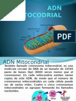 Adn Mitocodrial