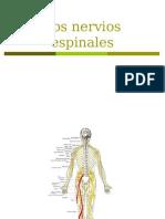 Los Nervios Espinales