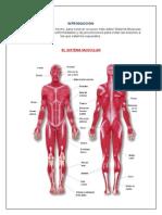Sitema Muscular
