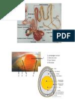 Digesti Ayam Dan Anatomi Histologi Telur Ayam
