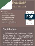 Callosobruchus Chinensis L