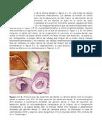 ODONTONTOGENESIS(2).docx