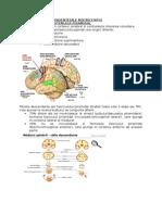 Nervii Cranieni
