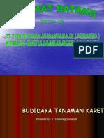 Budidaya Tanaman Karet 2