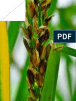 Impact of silicon in managing important rice diseases