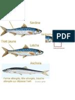 Sardine- Latcha - Anchois