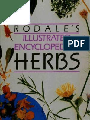 1500 SWEET BASIL Ocimum Basilicum Herb White Flower Seeds *Comb S//H Free Gift