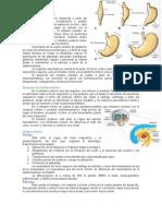 Desarrollo de Tubo Digestivo