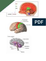 Anatomia SNS/SCR