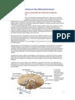 Doc.cerebro y Areas de Aprendizaje