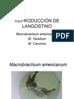 Reproducción m. Americanum