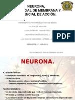 Neurona, Potencial de Accion y Reposo