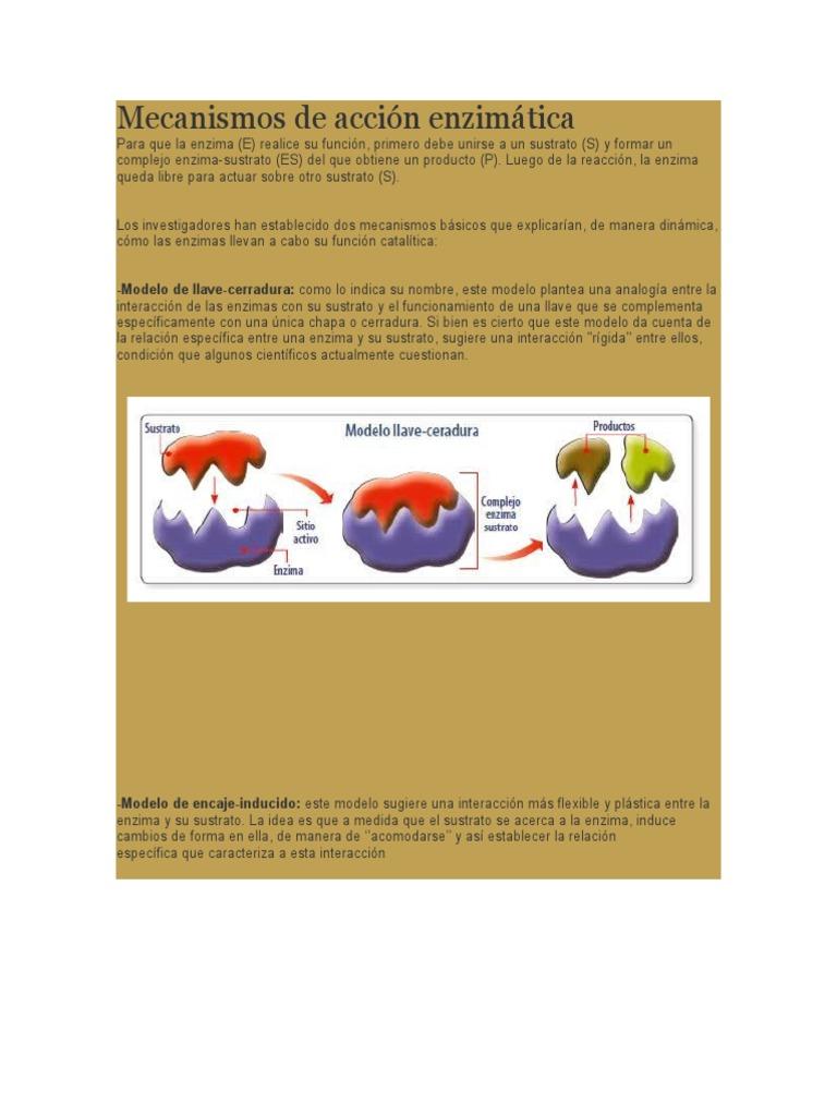 modelo llave cerradura de las enzimas