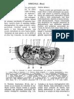 Viorel Ranga - Anatomia Rinichiului