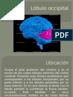Lobulo Occipital