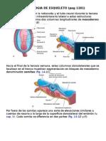 Embriologia de Esqueleto