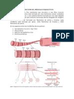 Contracción Del Músculo Esquelético