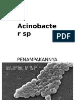 acetobacter sp