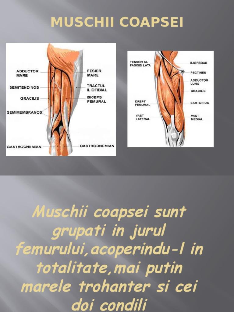 Mal și mușchi al coapsei
