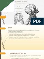 Anatomía Humana I  Tórax.pptx