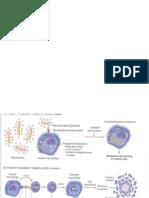 Patogenesis TB Abdomen