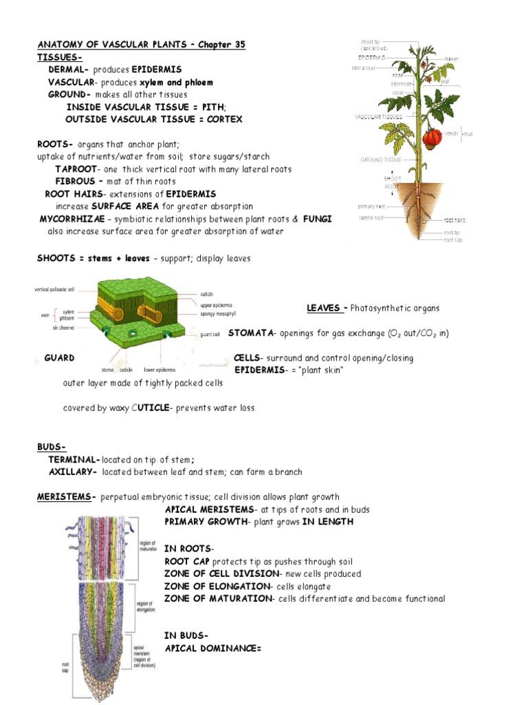 Anatomy Vascularplants 35 1c Root Plant Stem