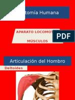 Anatomía Humana. Músculos