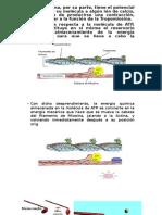Glucogeno Hepatico y Muscular II