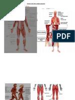 Sistem Otot Dan Rangka Manusia