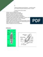 Glosario Platelmintos