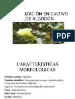 Fertilización en Cultivo de Algodón