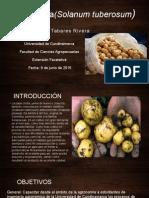 Papa Criolla(Solanum Tuberosum)