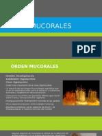 Mucorales
