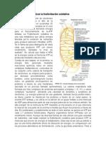 Modelos Para Explicar La Fosforilacion Oxidativa Completo
