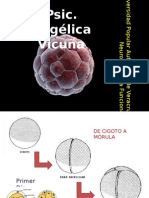 Desarrollo embrionario presentacion