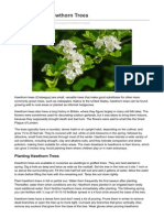 How to Grow Hawthorn Trees