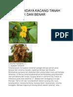 Cara Budidaya Kacang Tanah Yang Baik Dan Benar