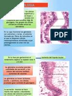 histología del endomitrio