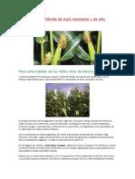 Desarrolla Inifap Híbrido de MaDesarrolla Inifap híbrido de maíz resistente y de alto rendimientoíz Resistente y de Alto Rendimiento