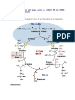 ciclo de la urea 2