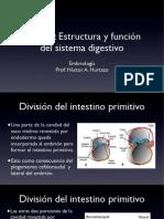 (1) Intestino primitivo