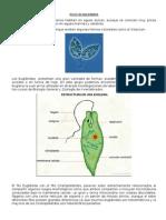 Filo Euglenida - Zoología