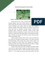 Penyakit Embun Tepung tanaman kedelai